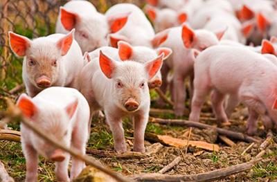 Работник свинофермы